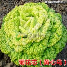 Daisy yellow heart black seed seed core organic loose leaf cabbage cabbage taste very extreme low temperature 30 seeds(China)