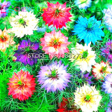 100pcs/bag Nigella Seeds Home Garden Flowers Potted Bonsai Love-in-a-mist Seed Mini Wild Clematis Seeds Flower Indoor Decoration