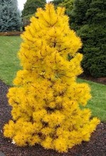 50Pcs/bag seeds Picea yellow Spruce Tree In Pot Bonsai Courtyard Garden Bonsai Plant Pine Tree Seeds for home garden(China)