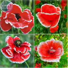 BELLFARM Corn Poppy Corrugated Red Double Flowers, 100 Seeds, Original Pack, red big blooms with white edge A295