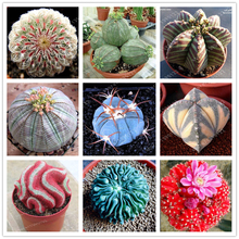 100 pcs/bag Real mini cactus seeds, rare succulent perennial herb plants,bonsai pot flower seeds, indoor plant for home garden