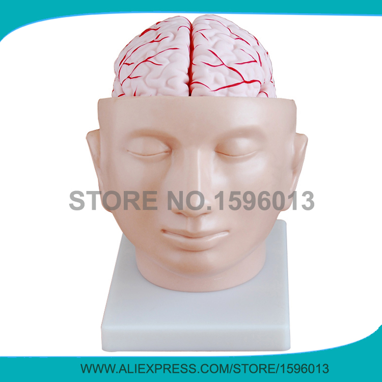 Advanced brain with arteries on head model, brain with arteries model 9 parts, brain model<br>