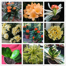 Real Clivia Plant Seeds (bulbs) Rare bonsai  seeds Indoor plant Clivia miniata flowers seed for Home garden Mixed color 5pcs/bag