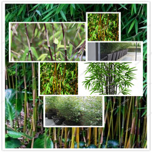 Hot Sale! Fresh Black Bamboo Seeds (Fargesia Sp Jiuzhaigou 4) hardy  potted home&garden, seeds 100 pcs/bag 2016 New