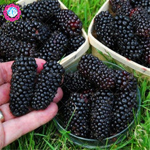Blackberry tree Raspberry seeds stratified fruit seeds home garden plant creepers fruit bonsai seeds sweet & organic-200pcs/bag(China)