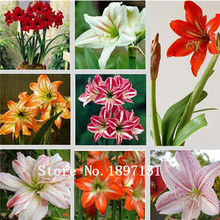 Big sale Amaryllis seeds, free shipping cheap Amaryllis seeds, Barbados lily potted seed, Bonsai balcony flower - 200 pcs/bag