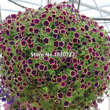 Cascadia Rim Magenta Petunia .Dark purple blooms with a cream edge.Flower Seeds For Home.Bonsai Plants for Decoration--200seeds(China)