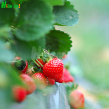 Rushed Sales !Non-gmo Strawberry Seeds,fruit Plant Bonsai Pot Products,home Garden Supplies,garden ORGANIC Planting,modified