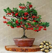 10pcs Coffee Beans Bonsai Seeds Green Food Organic Fruit Seeds Vegetables Refreshing Bonsai Plant Coffee Pot For Home Garden