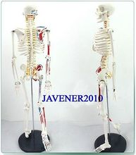 85cm Human Anatomical Anatomy Skeleton Medical Model Muscle +Stand Fexible