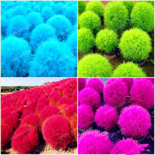 Blue Grass seeds Perennial 500pcs Grass Burning Bush Kochia Scoparia Seeds Red Garden Ornamental Easy Grow Bonsai  Home Garden