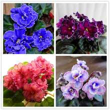 100 pcs/bag african violet seeds Moonstone (Lebetskaya) bonsai flower seeds Garden Plant pot Perennial Herb seeds
