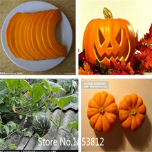 Sale!20 seeds / pack, Atlantic Giant Pumpkin Seeds NON GMO Organic Vegetable Seeds