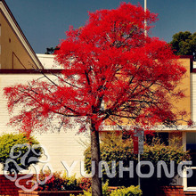 Hot Item Tree seeds Home Garden Plant Evergreen Colorado Flame bottle tree Courtyard planters 10PCS High-quality seed