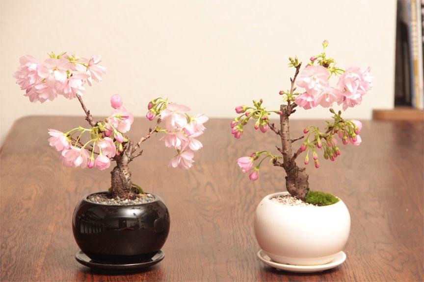 Декоративная сакура выращивание дома 66