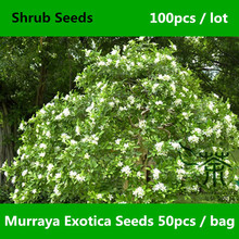 Chinese Box Murraya Exotica Seeds 100pcs, Lakeview Jasmine Murraya Paniculata Seeds, Honey Bush Mock Lime Orange Jessamine Seeds(China)