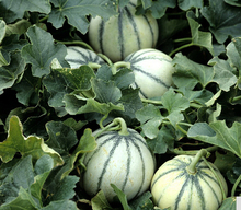 2017  Rare Small Heirloom True French Charentais Gourmet Melon Cucumis Melo Seeds, Professional Pack, 20 Seeds / Pack, Tasty Mel