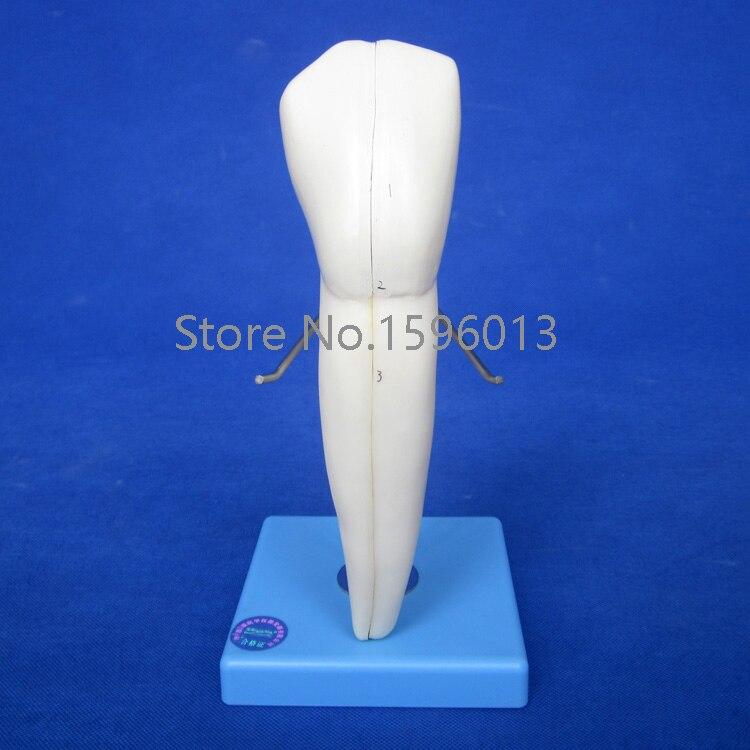 Lower Canine model, teeth model,dental model<br>