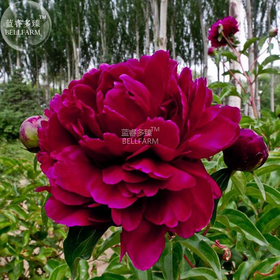 5 Seeds Rare New Za Gu Pink Purple Peony Tree Flower  rare garden Heirloom
