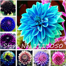 100Pcs/Bag Dahlia Seeds, Indoor Potted Ornamental Flower Seeds, Dahlia Flower Seeds Perennial Plant Seeds, Plants Purify the Air