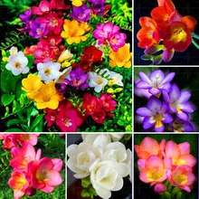 Hot sale!!Rare  Freesia Bulb,Free shipping cheap perfume  common freesia Bulb, mixing different color - 2  Freesia Bulb