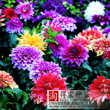 Rushed New Arrival Summer Blooming Plants Virgo Dahlia Seed Garden Seasons Sowing Imports Seeds Double - Cut Type 10Seeds