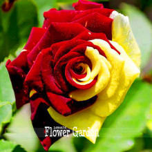 Loss Promotion!approx 50 Pieces / Bag, Rare Amazingly Beautiful 2 Colored Red Yellow Rose Flower Seed,#051N9R(China)