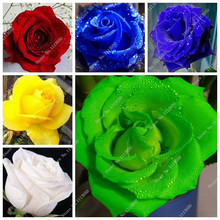 100 Pcs Rose Seeds,Rose Flower Seeds,Indoor Bonsai Balcony Flower Seeds,24 Colour Natural Growth Pot Plant for Home Garden Decor