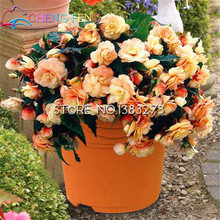 100 Pcs Begonia Seeds Malus Spectabilis Potted Flower Seed For Garden Bonsai Diy Plant Sementes Happy New Year Send Rose Gift(China)