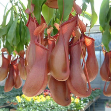 200pcs Freshly Picked  mosquito Nepenthes seeds potted flower seeds fun novelty patio/balcony Carnivorous Plants