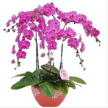100 seeds phalaenopsis orchid seeds butterfly orchid  beautiful flower