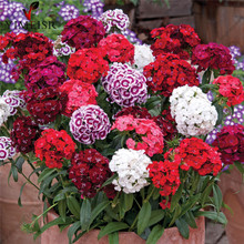 100pcs/bag 100%True America Dianthus Seeds, Mixed Colour Sweet William Bonsai flower seeds for for indoor plants home garden