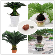 Only 1 Pcs Cycas seeds potted balcony planting free shipping bag potted flower seed bonsai cycads tree for home garden big seed(China)