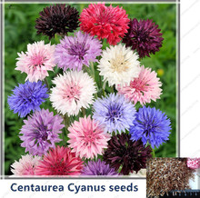 100pcs/Cornflower(Centaurea Cyanus)Seeds 6 color Centaurea cyanus Flower Seeds for Home Garden EXCELLENT CUT FLOWER(China)