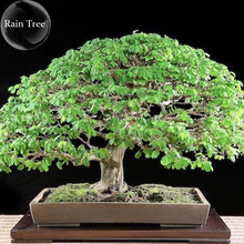 Rare Outdoor Sybian Rain Silk Tree, 10 Seeds, albizzia julibrissin only for outdoor E3809(China)