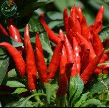 Vegetable seeds free shipping New Arrival 30 seeds Mean days Spices Spicy Red Chili Hot Pepper Seeds Plants Farm garden s25(China)