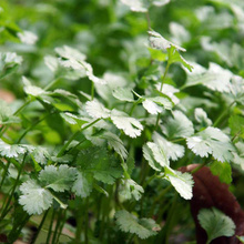 400  coriander seeds Cilantro  rich aroma ,good cooking herb   DIY Garden Vegetable seeds good taste ,delicious healthy