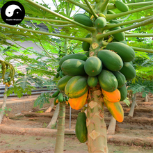 Buy Papaya Fruit Seeds 240pcs Plant Pawpaw Fruit Tree Chaenomeles Sinensis(China)