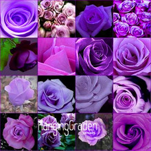 New Fresh Seeds 10 Pcs/Lot cheap rare burpee perfume Colors Purple Rose Seed flower seeds home gardening Outdoor plants garden,#(China)