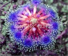 Bonsai sundew seeds Blue enchantress Carnivorous plant table Pot Drosera peltata Seeds Radiation Protection  10 seeds