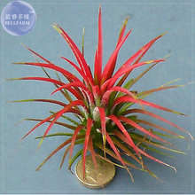 Tillandsia Ionantha Guatamala. Seeds, 5 Seeds, professional pack, heirloom rare air plant seeds TS347T(China)