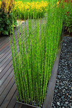50 bamboo seeds rare mini black moso bamboo bamboo seeds pack Bambusa Lako tree seeds for home garden