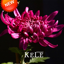 Promotion!100 Seed/lot Rare Hot Rose Pink Chrysanthemum Seeds Morifolium Seeds Flower Potted Plant for DIY Home Garden,#347U5E