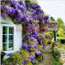 10 wisteria seeds outdoor plant Purple Wisteria Flower Seeds for DIY home garden Climb rattan flower(China)