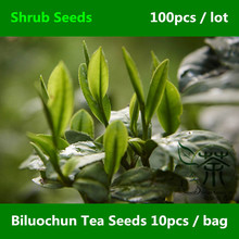 Widely Cultivated Dong Ting Biluochun Tea Seeds 100pcs, Green Snail Spring Pi Lo Chun Shrub Seeds, Chinese Bi Luo Chun Tea Seeds(China)