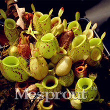 50PCS Cheap Apple Nepenthes Eating Mosquito Varieties Of Seed Plants Mixed Garden Decoration Bonsai Flower * Organic Best home