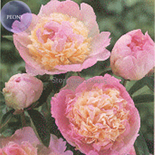 'Raspberry Sundae' Peony Tree, 5 Seeds, light-pink-to-white outer petals with a cluster of ruffled, raspberry-pink center petals