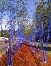 Very rare bluebark trees Blue painted trees in Burke-Gilman bonsai seeds Perennial tree seeds home garden plant 10 pcs