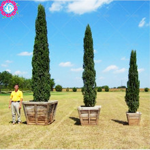 30 pcs italy cypress tree seeds tree seeds for home garden planting beautiful need tree seeds free shipping price low(China)