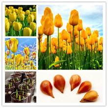 Buy 5pcs Bulbs True Yellow Tulip Bulbs (Not Tulip Seeds),Tulips Variety Fresh Bulbous Root Flowers Planted flower bulbs for $2.79 in AliExpress store